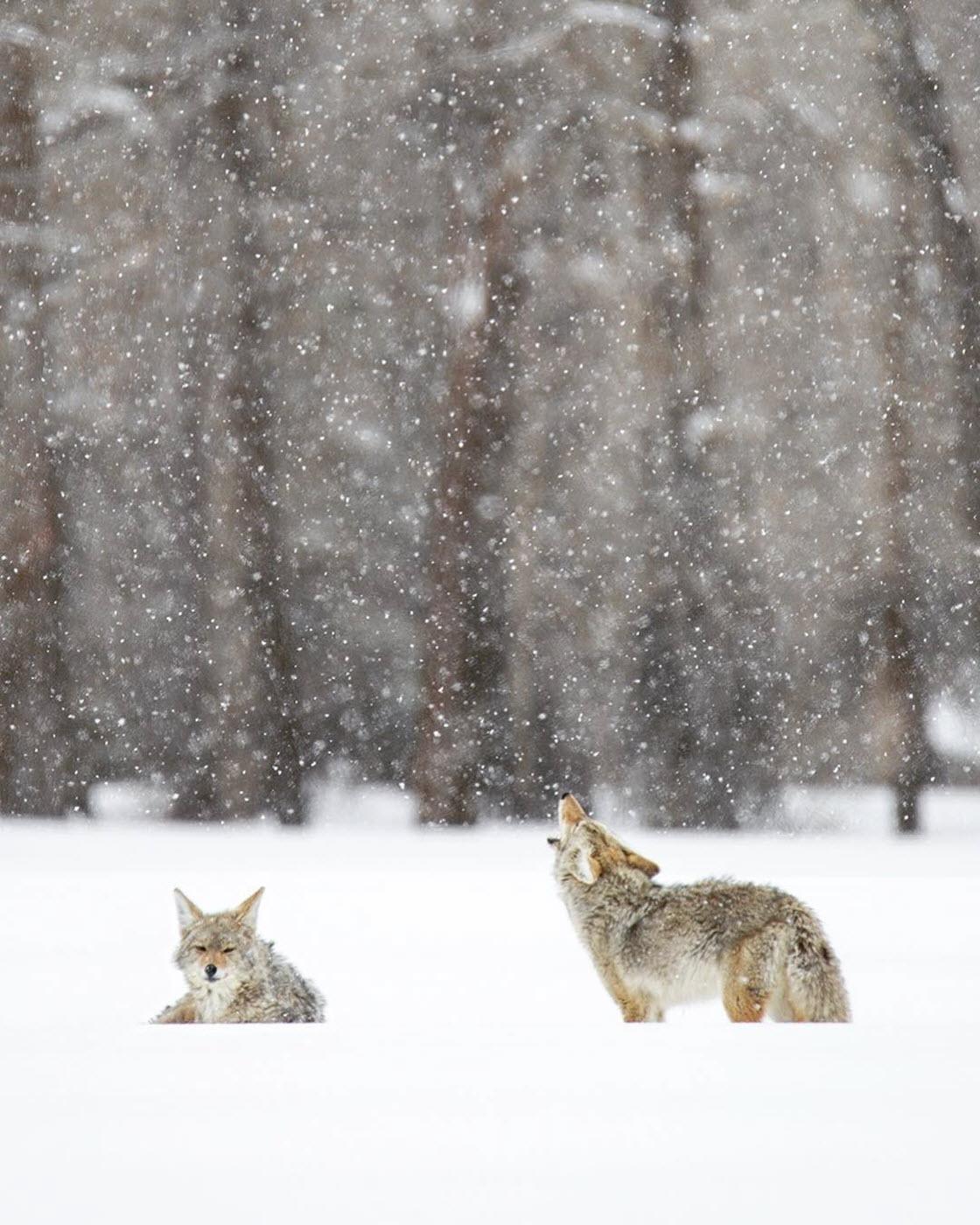 Дикие животные в Национальном парке Гранд-Титон животный мир,природа,животные,красота,парк